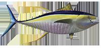 35d5e428 Yellowfin Tuna Intro (1)