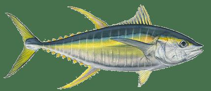 Yellowfin Tuna (1)